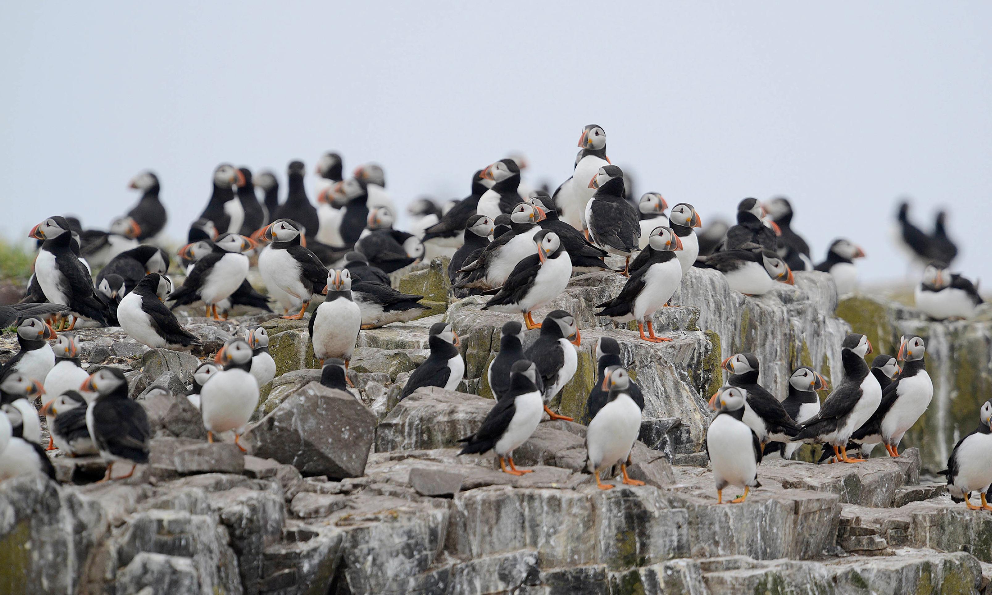 Farne Islands seabirds in danger as heavy rain kills chicks