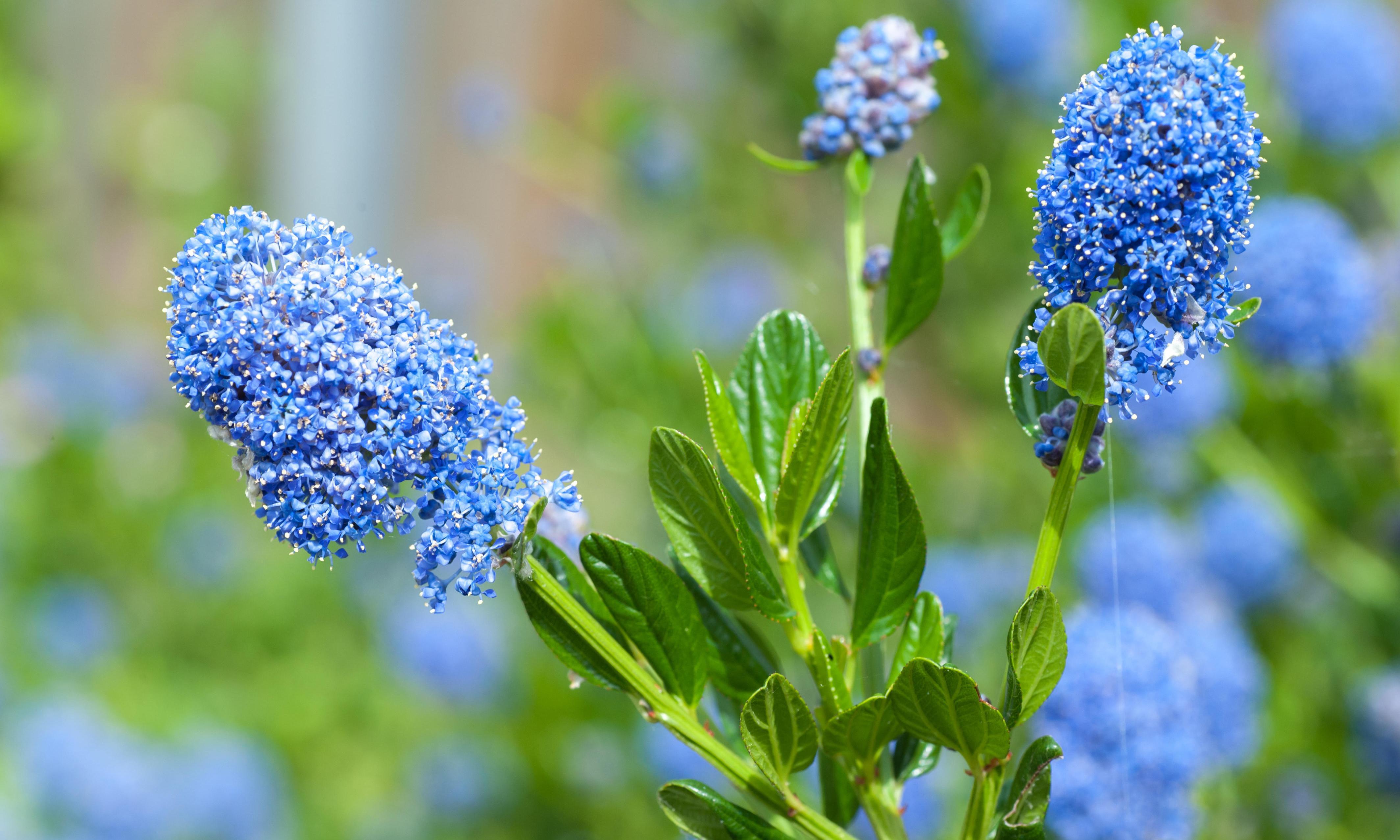 Gardening tips: plant sun-loving ceanothus