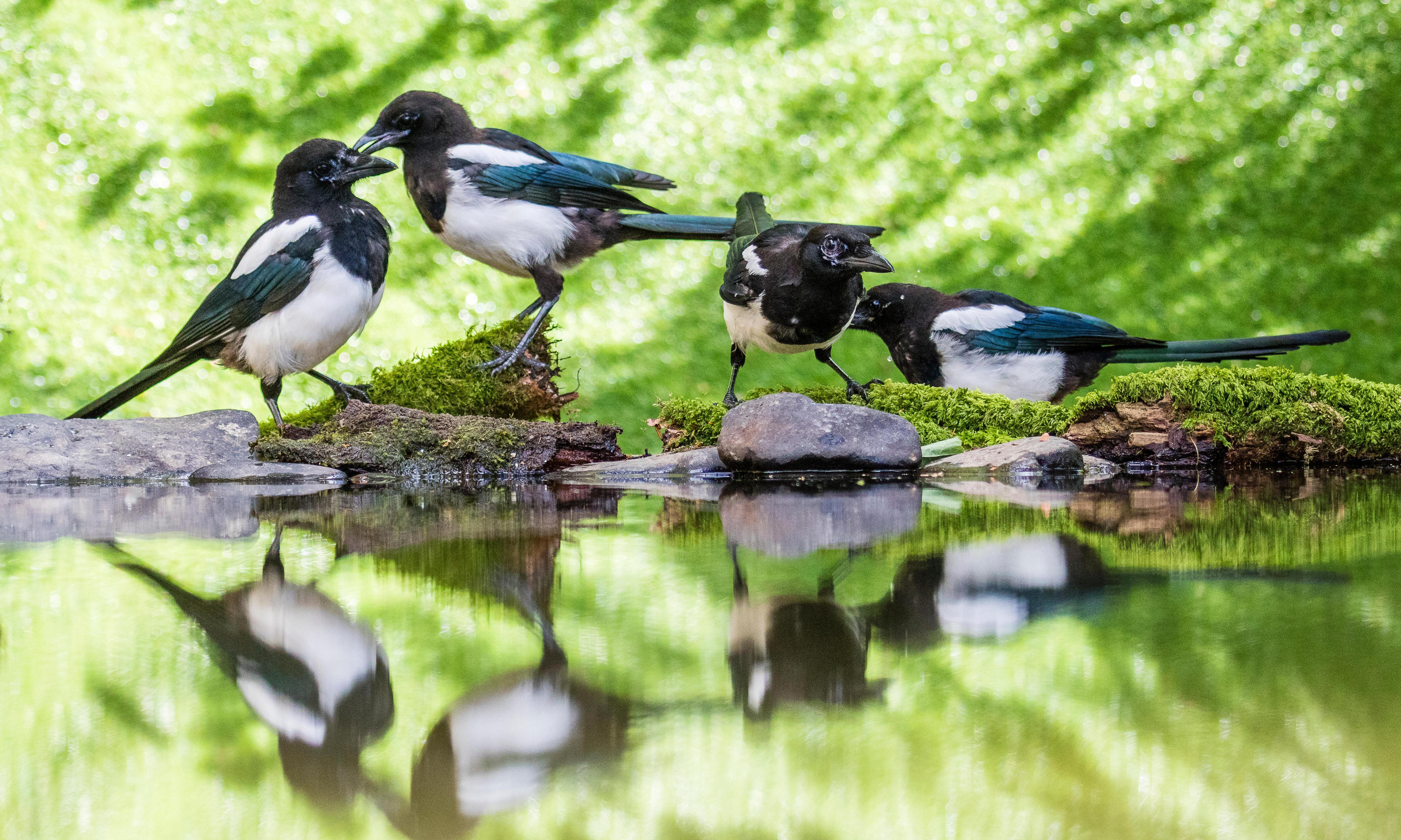 Observing the magpie mating ritual: Country diary, 5 December 1919