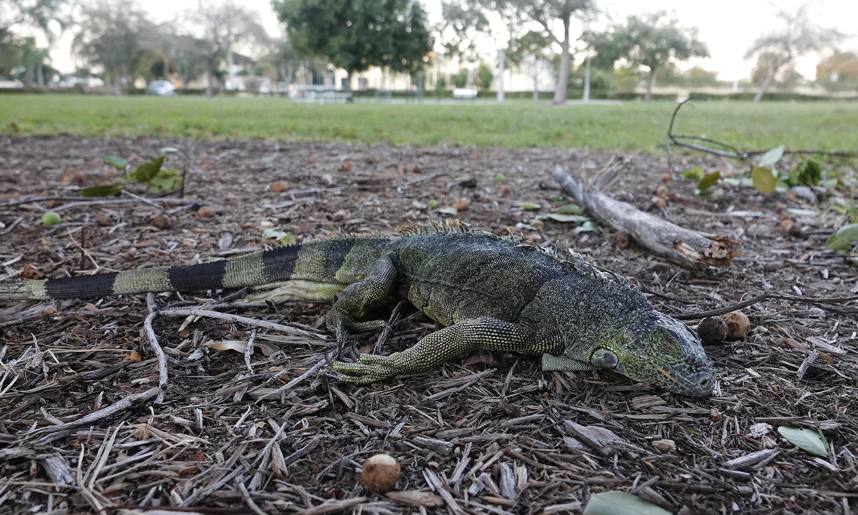 Florida's iguana-geddon: cull of a pesky interloper or tasty windfall?