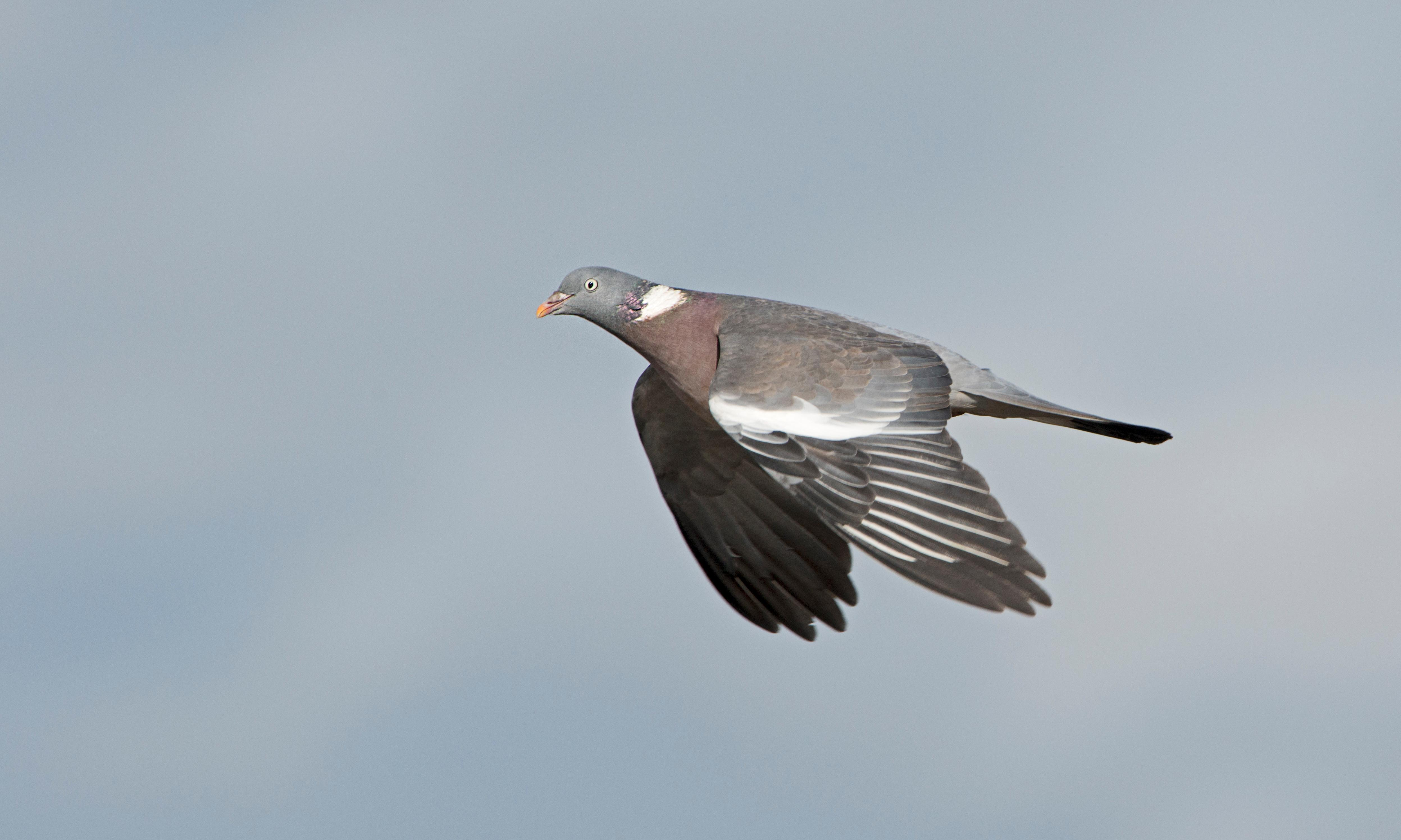 Woodpigeons and crows can no longer be freely killed in England