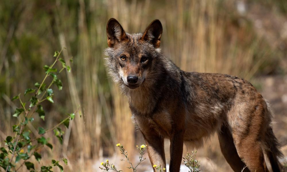 A wolf stands at the Iberian Wolf Centre in the Sierra de la Culebra near the village of Puebla de Sanabria on July 28, 2021.