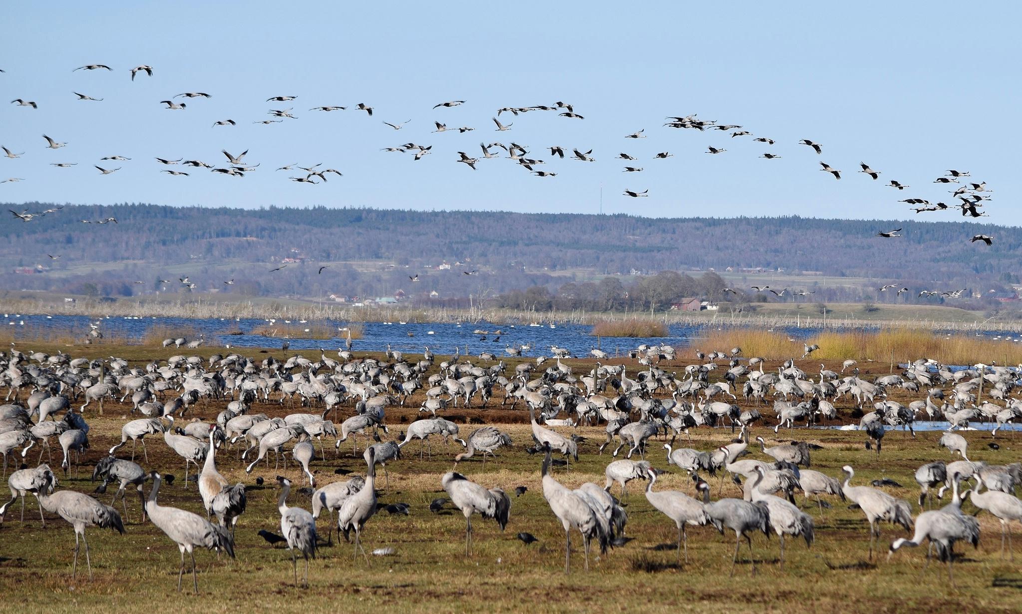 The dancing cranes of West Sweden – a bucket list wildlife spectacle
