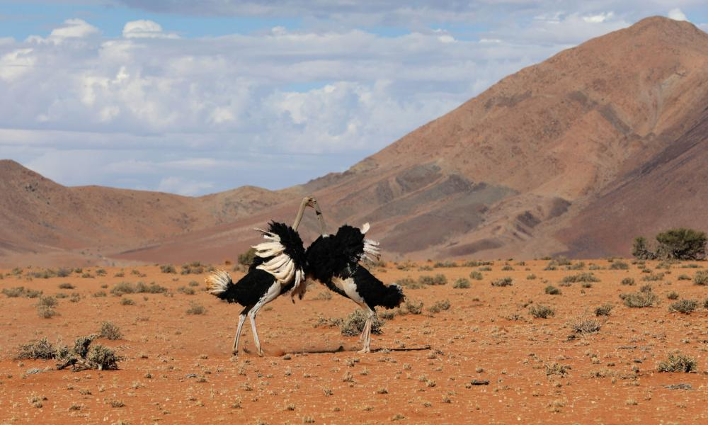 Male ostriches fight over their territory in The Mating Games.