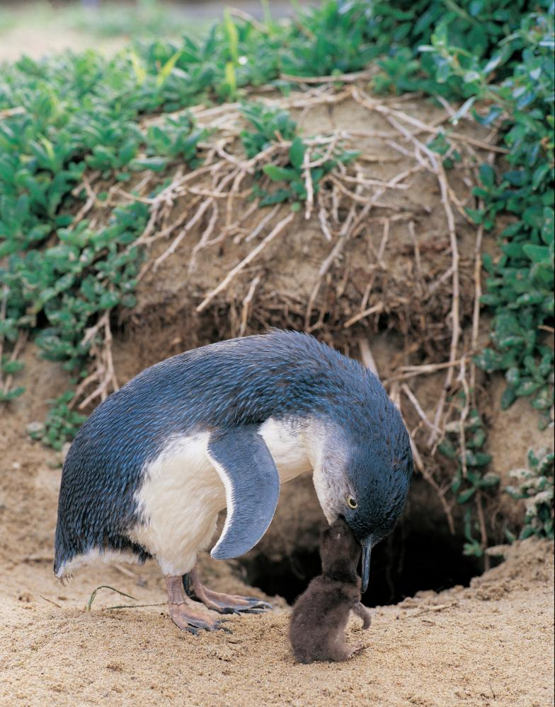 A little penguin tends to its chick.