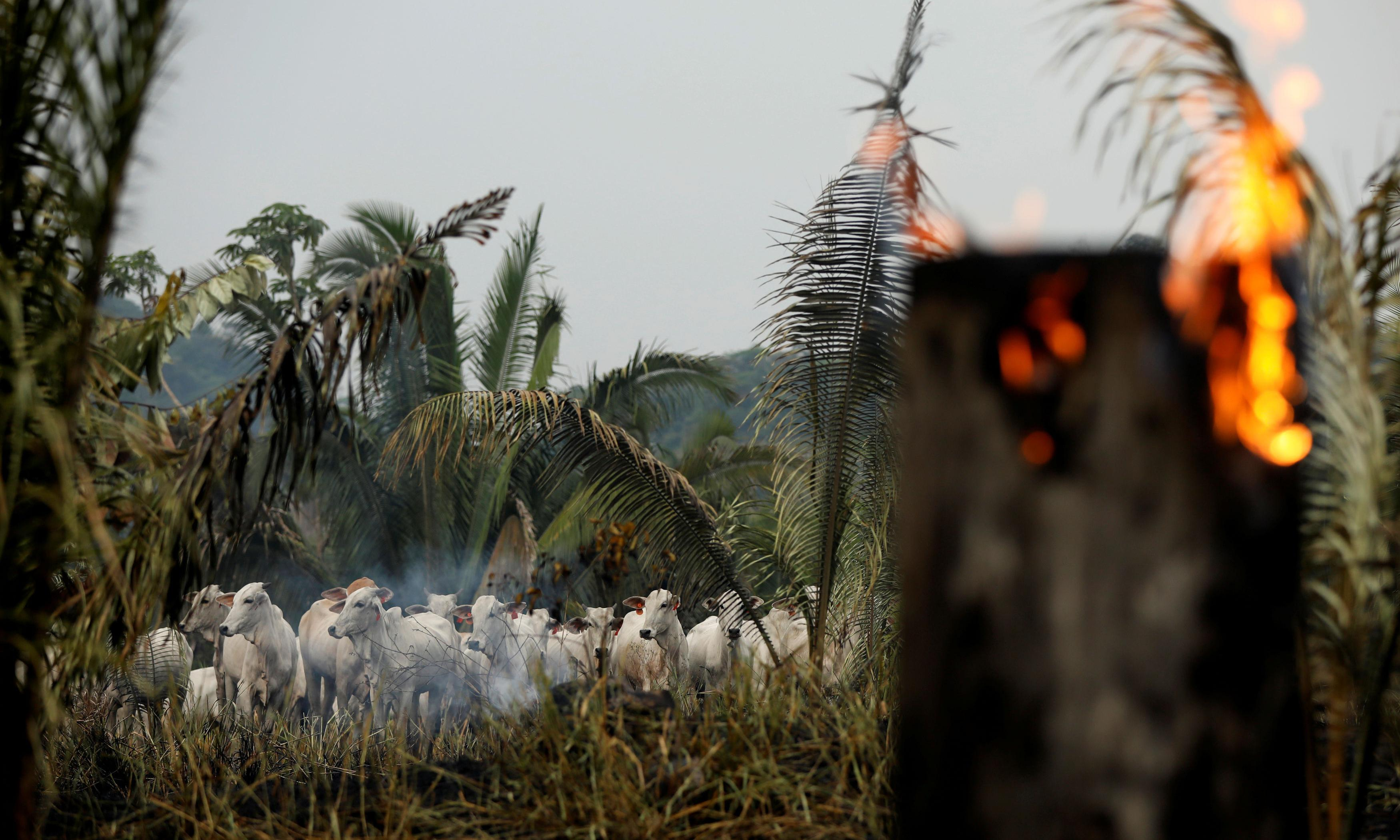 Revealed: fires three times more common in Amazon beef farming zones