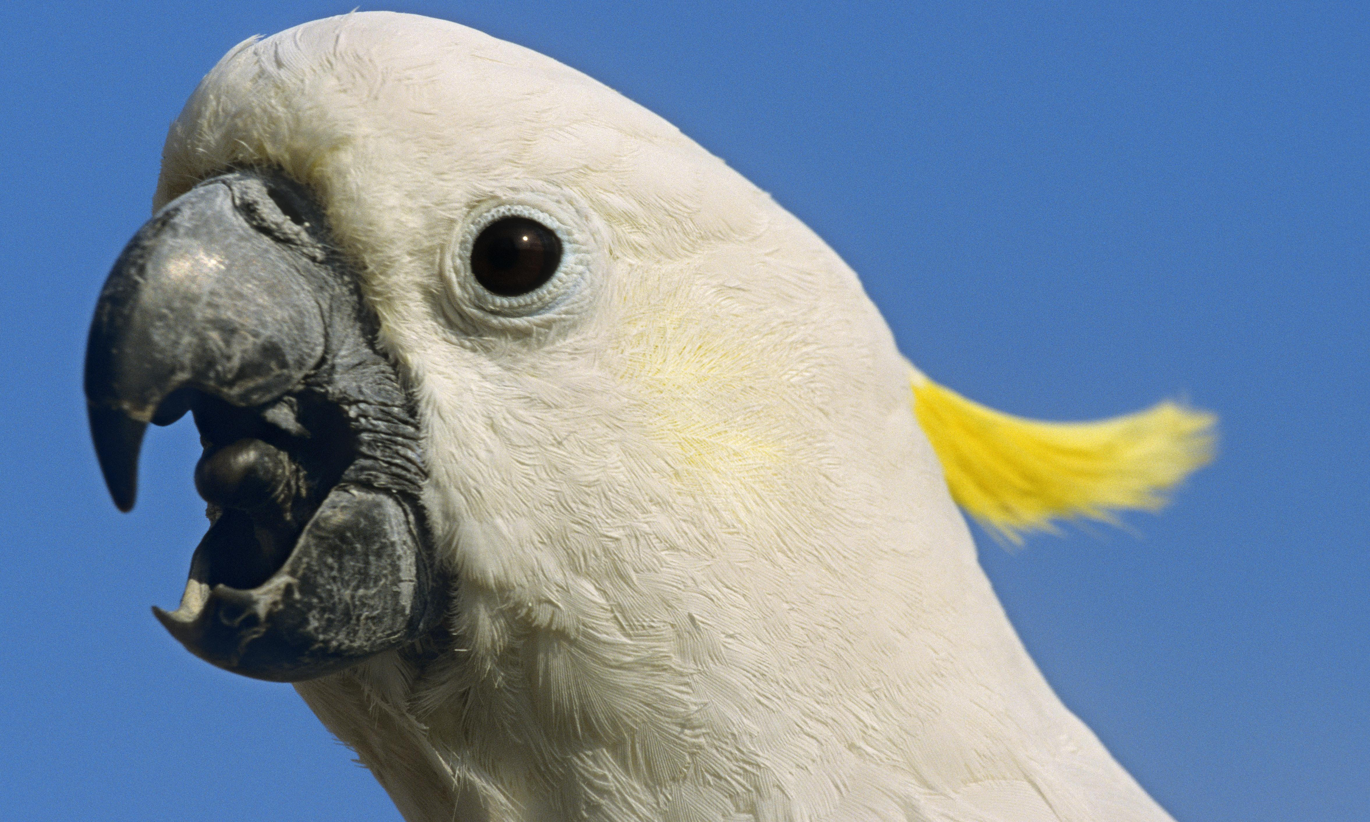 Flying high, not getting high: the poppy-eating cockatoos of Tasmania are no opiate addicts