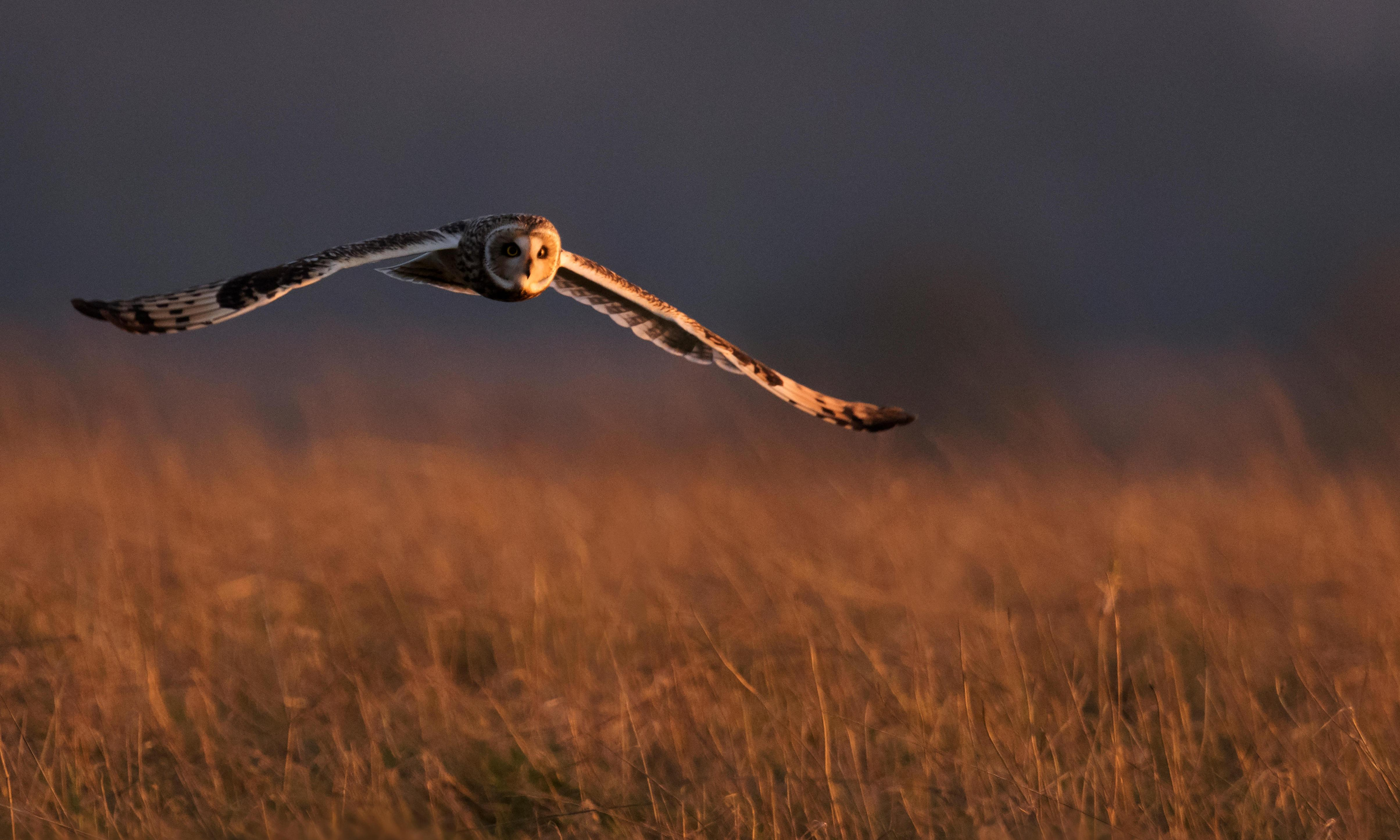 Country diary: a shortie scouts for prey in the fading light
