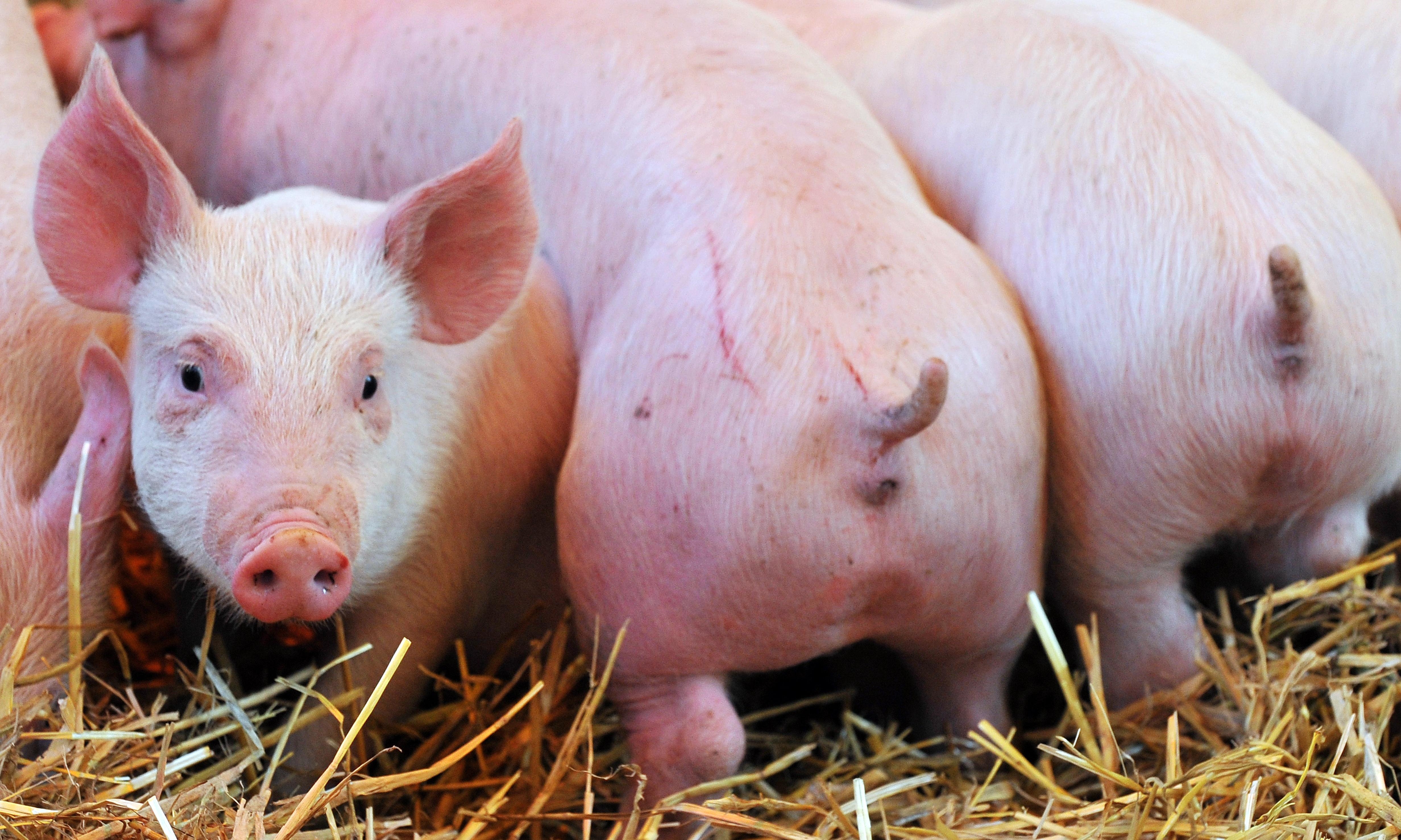The curse of tail-docking: the painful truth about Italy's pigs