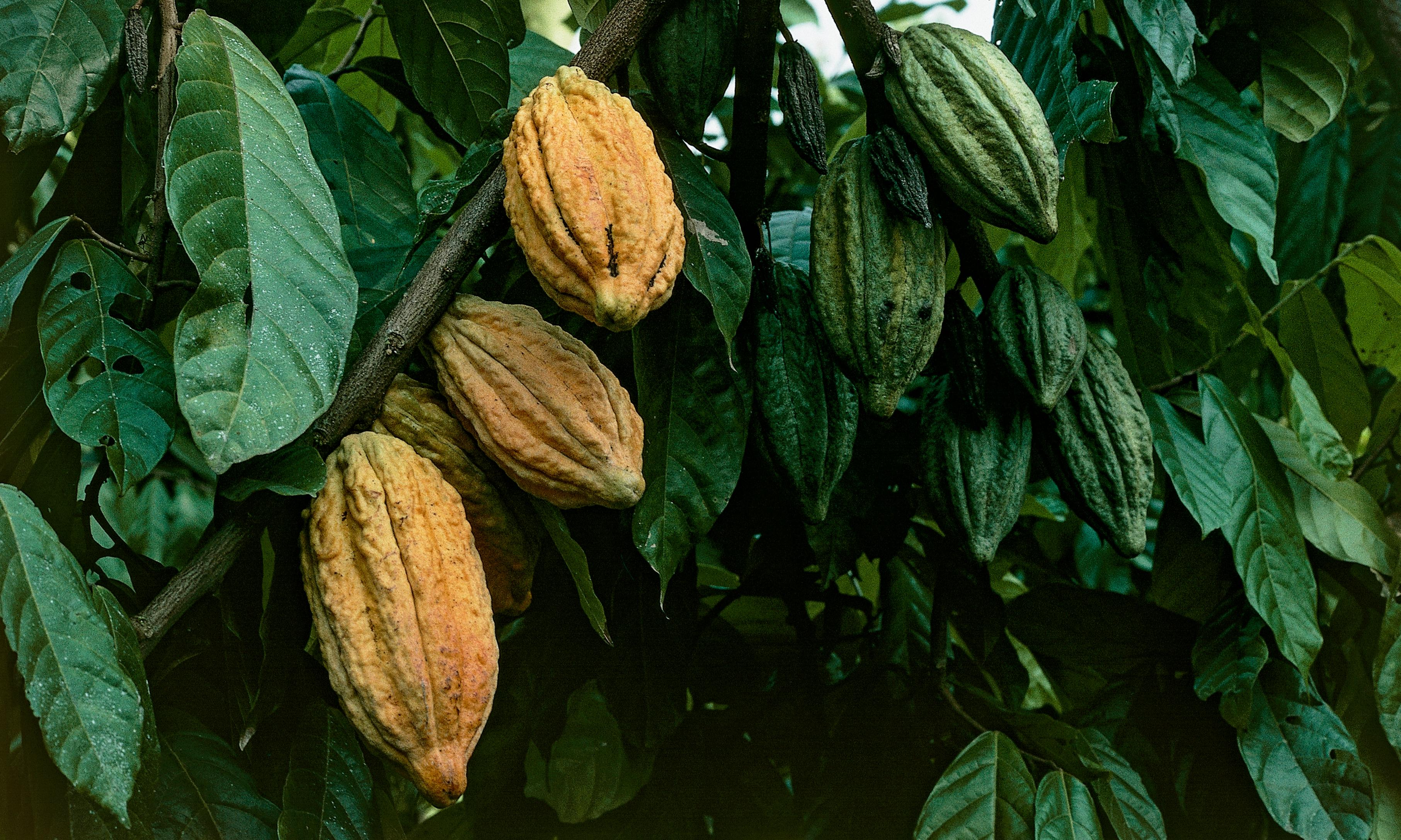 Origin of chocolate shifts 1,400 miles and 1,500 years