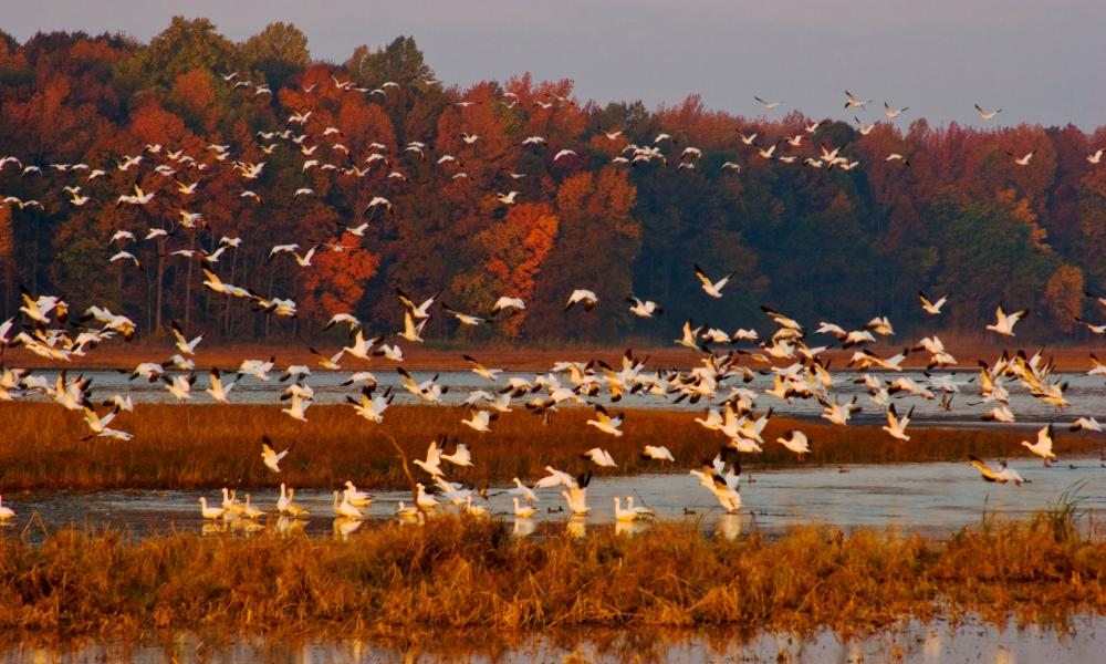 Snow Geese in flight at sunrise, Bombay Hook National Wildlife Refuge, Delaware, US.