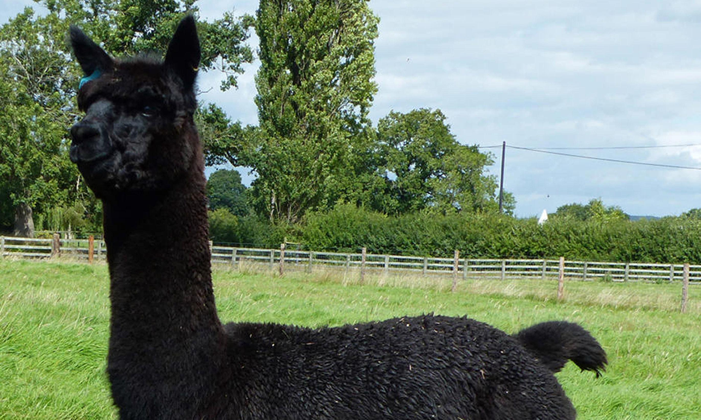 UK farmer loses high court fight to stop alpaca being killed