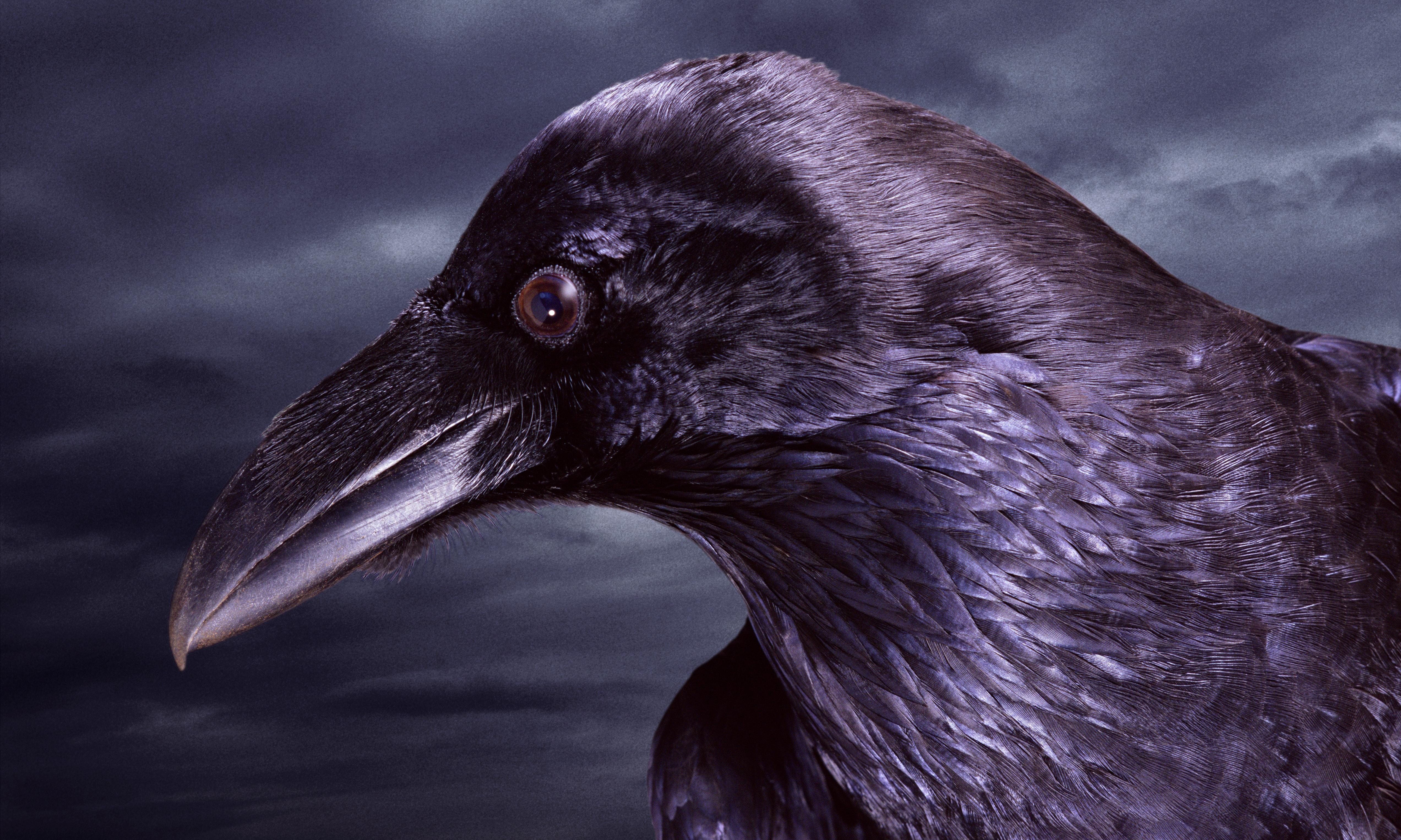 Warrior, trickster, messenger, god: the raven is the best of all birds