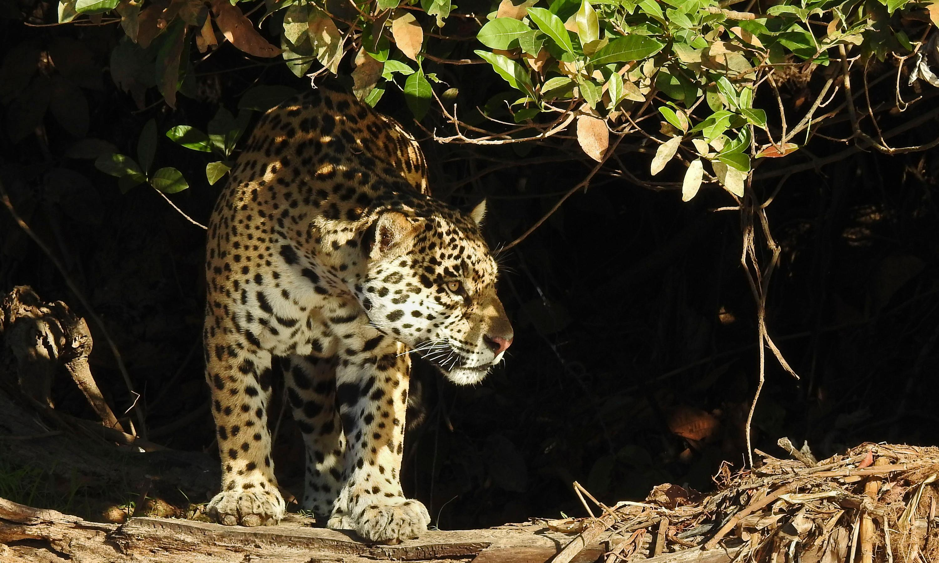 Give endangered jaguars legal rights, Argentina campaigners ask court