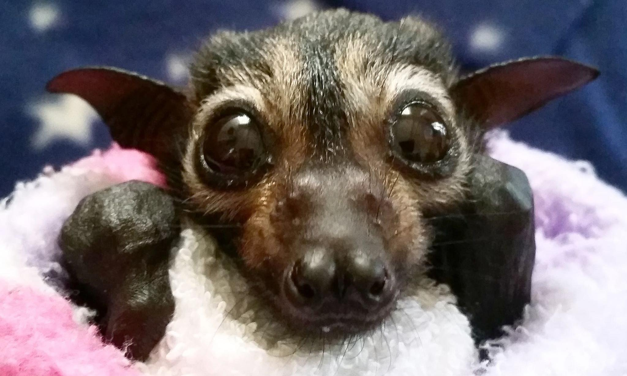 Spectacled flying fox declared endangered after Queensland heatwave wipeout